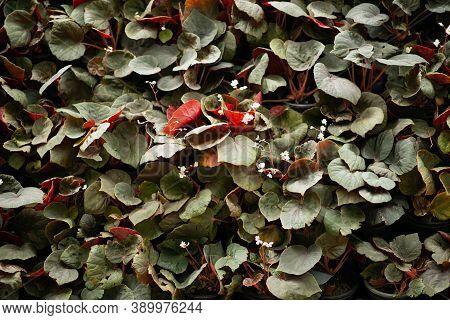 Magenta Leaf Texture Background. Wallpaper Leaf Surface Natural Magenta Plants Fresh Wallpaper Conce