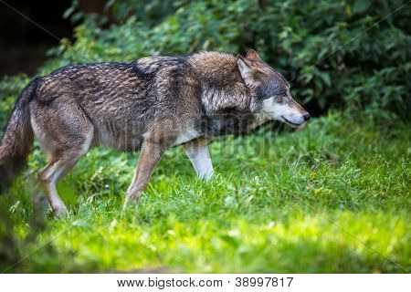 Gray/Eurasian wolf (Canis lupus) poster