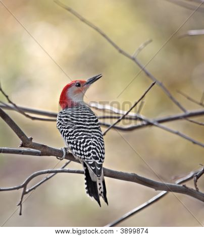 Red-bellied woodpecker perched on a tree branch poster