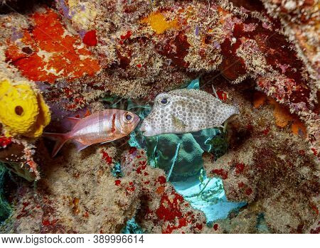 Caribbean Coral Reef With Squirrlefish And Cowfish