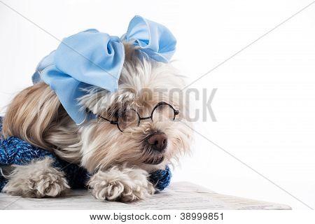 Maltese Terrier Girl
