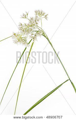Luzula Nivea grass on white background