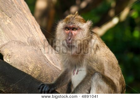 Sitting On The Tree Monkey Face