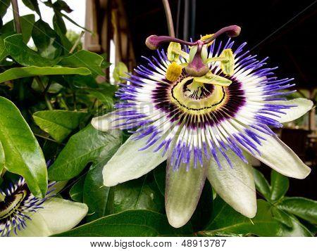 Passiflora Caerulea - Passion Flower
