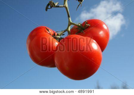Organic Red Tomato
