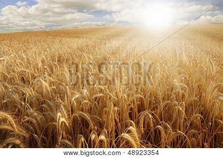 Sun Over A Wheat Field