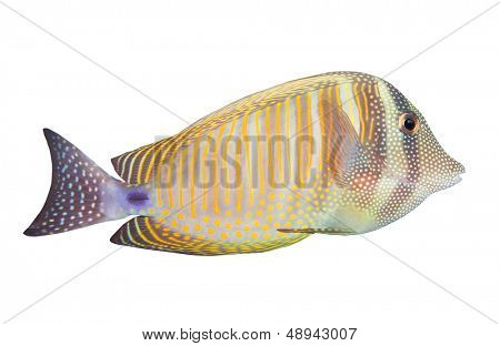Tropical fish isolated on a white background. The Desjardin's Sailfin Tang (Zebrasoma Desjardini).
