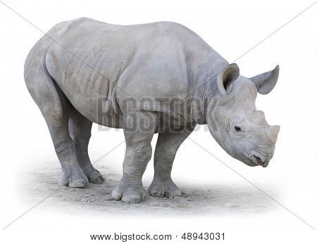 Little Rhino. The Northern White Rhinoceros, or Northern Square-lipped Rhinoceros (Ceratotherium simum cottoni) isolated on white background.