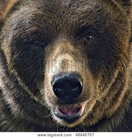 Head shot of grizzly bear