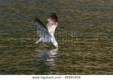An Audouin's Gull (Larus audouinii) plunging its bill in the water looking for food poster