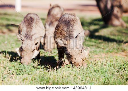 Three Warthogs Grazing In The Wild