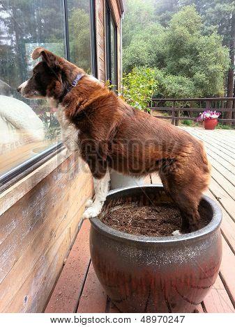Dog on a garden pot looking through a window. poster