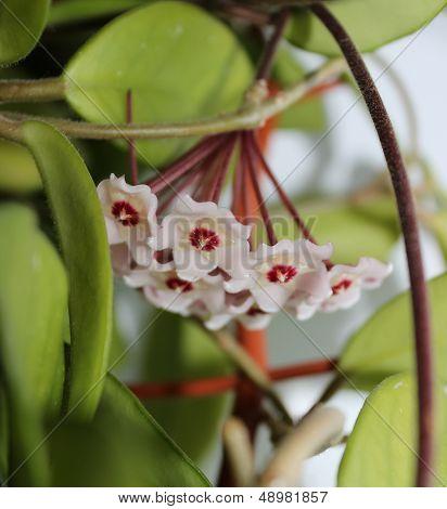 Hoya Flowers