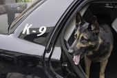 Police canine waiting in the back of a patrol car for his orders. poster