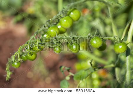 Unripened green tomatoes in the home garden or farm.