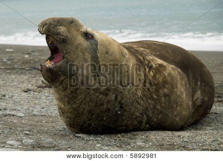 männlich Siegel mit offenem Mund