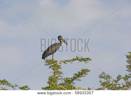 Open-billed Stork In A Tree