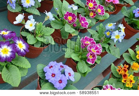 Colorful Pots Of Primroses