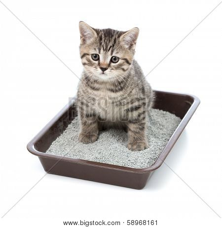 kitten or little cat in toilet tray box with litter