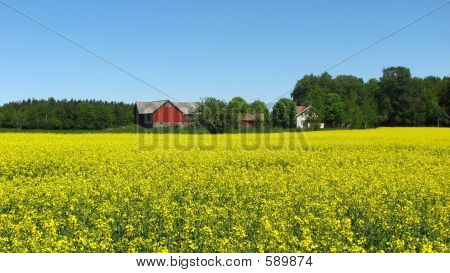 A Yellow Field