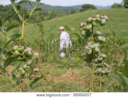 Unpicked Blueberries