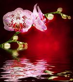 Orchid branch over water poster