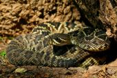 Eastern Diamondback Rattlesnake, coiled and ready to strike poster