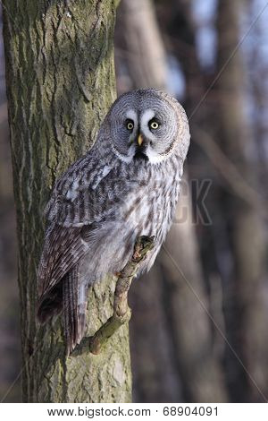 Great Grey Owl Or Lapland Owl