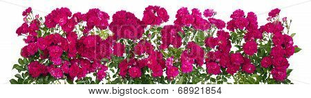 Pink Roses Big Isolated Line