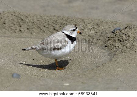 Piping Plover (Charadrius melodus) at Nest Excavation on Beach - Sauble Beach Ontario poster