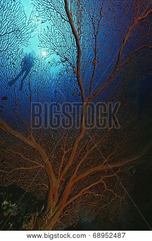 Low angle view of gorgonian sea fan and scuba diver poster