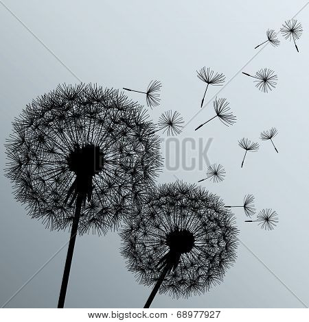 Two Flowers Dandelions On Grey Background