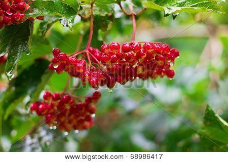 Red Berries Of Viburnum (guelder Rose) In Garden