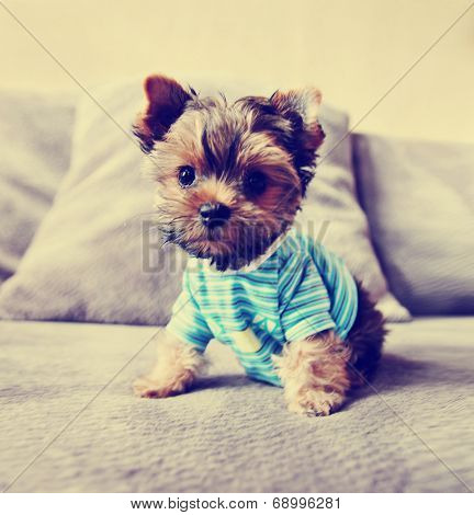 a cute yorkie in a shirt toned with a retro vintage instagram filter