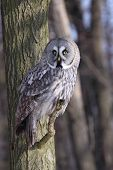 Strix nebulosa perching on the branch during day poster