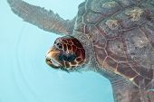 Turtle with its head out of the water in water tank poster