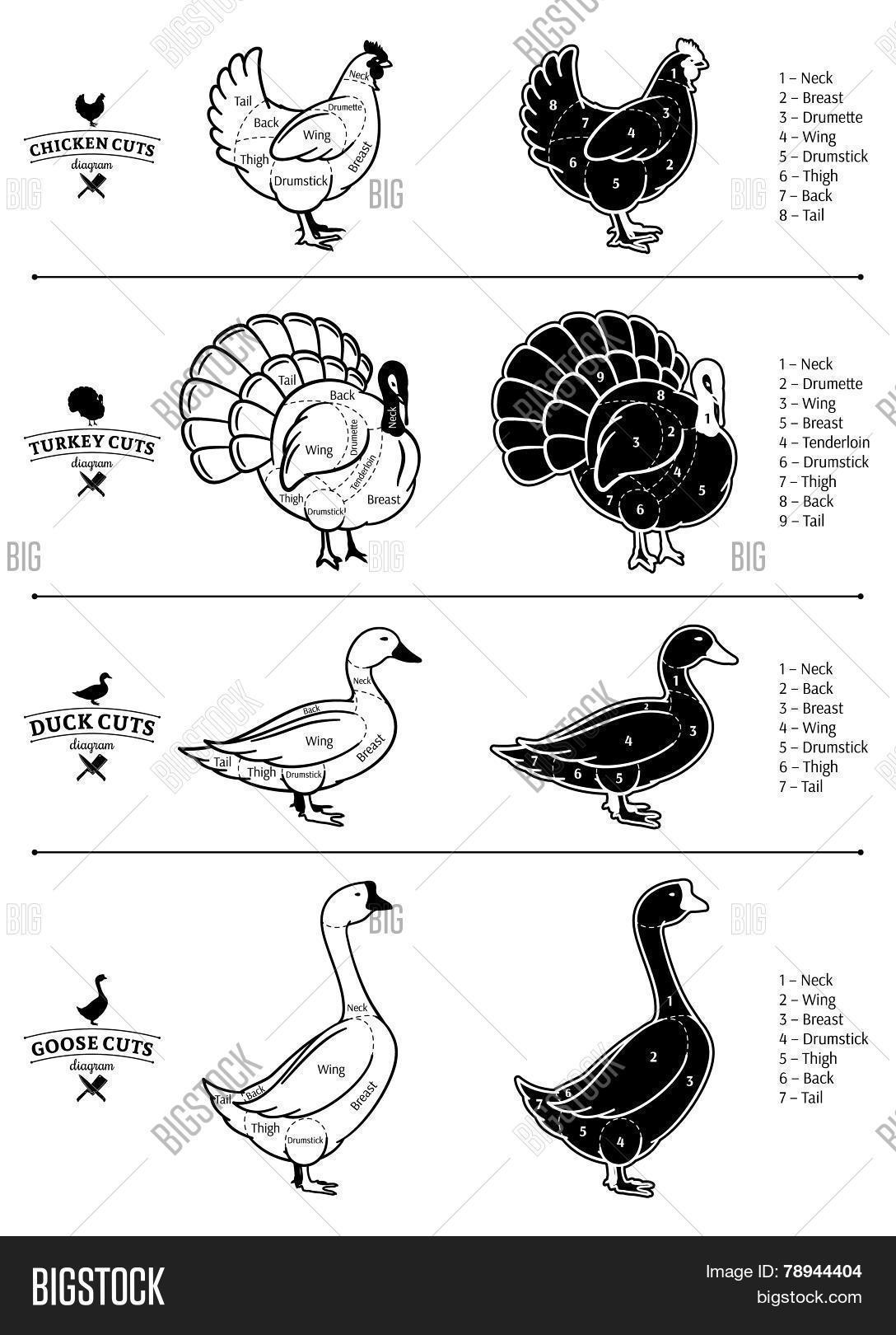Poultry Cuts Diagrams Vector Photo Free Trial Bigstock Diagram Chicken Leg Detailed Wing