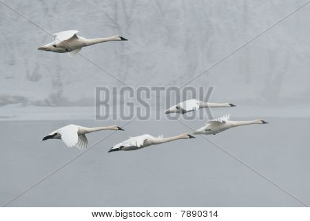 Flock Of Trumpeter Swans (Cygnus buccinator) Fly Over Foggy Winter River