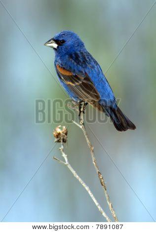 Blue Grosbeak (male)
