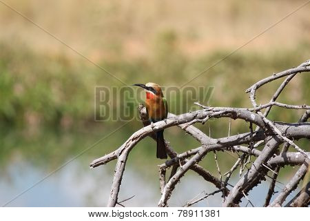 Whitefronted Bee eater bird