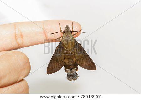 Macroglossum Sitiene Moth Hanging On Finger
