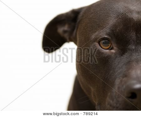 Brown American Pit Bull Terrier Dog