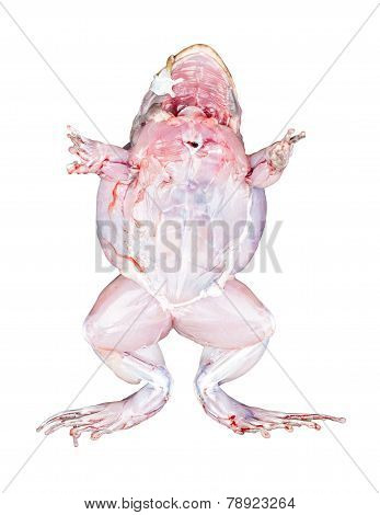 Frog Bottom View With Muscles Isolated On White