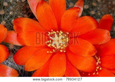 Rebutia cactus orange flowers