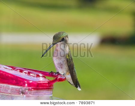 Beautiful and graceful green hummingbird perched on feeder in late spring poster