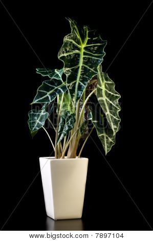 Flower In Pot, Alocasia Polly