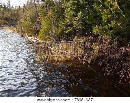 Reeds On The Shore Of A Lake