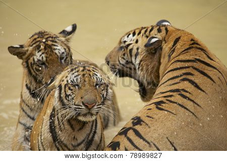 Adult Indochinese male tiger growls to the female.