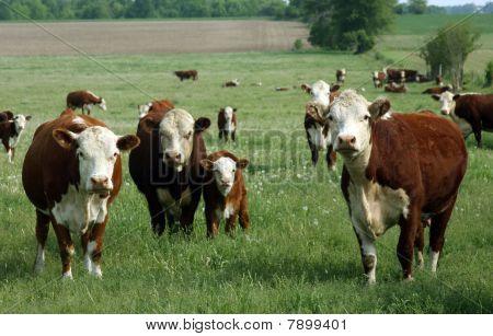 Baby Hereford Calf