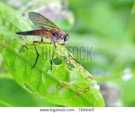 Down-looker Fly (rhagio Scolopacea)